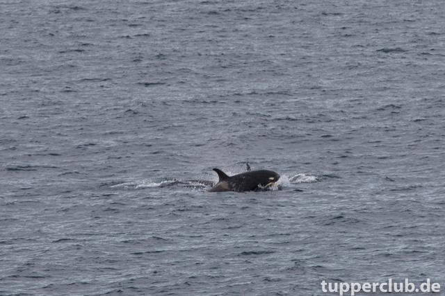 type-d-orcas1